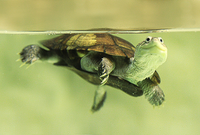 Tortue aquatique